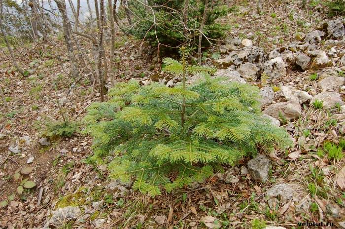 елка в лесу