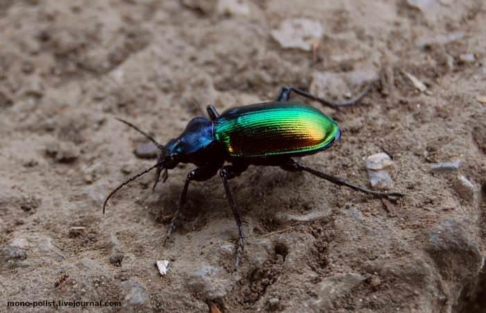 разноцветный жук