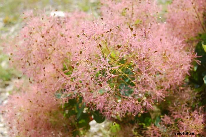 розовое растение