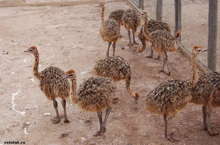 страусиное ранчо молькино
