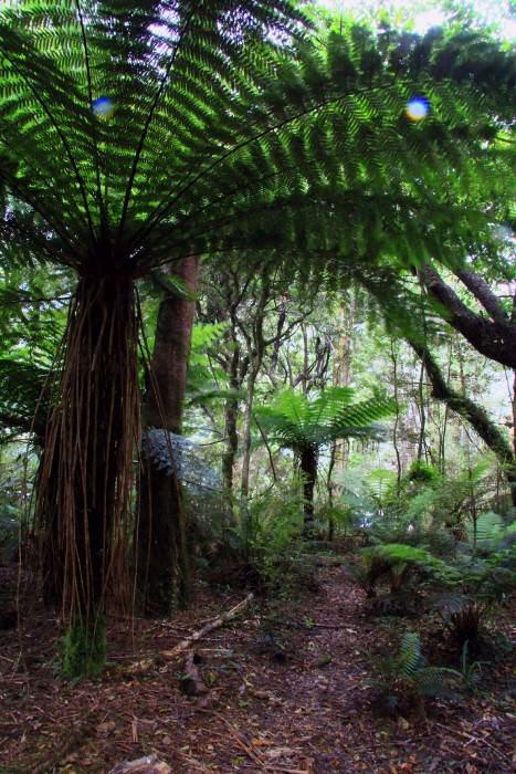 серебристый древовидный папоротник, Новая Зеландия