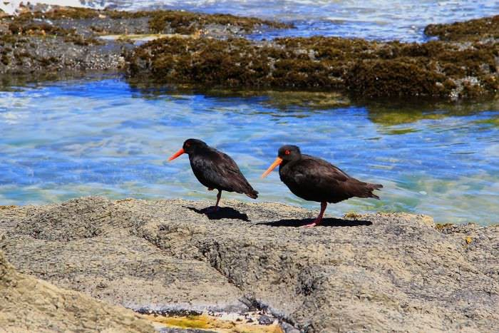 кулик-сорока, Новая Зеландия