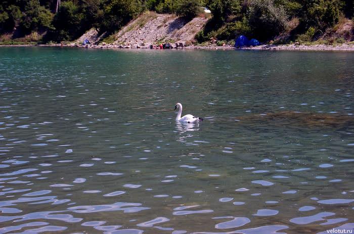 белый лебедь на озере абрау-дюрсо