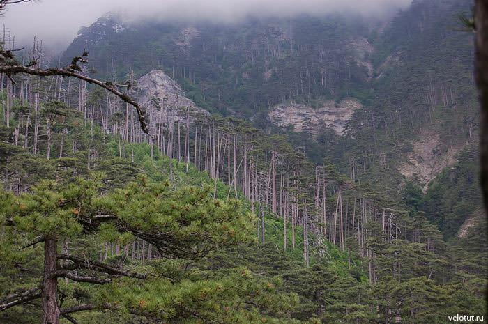 сосновый лес ялта