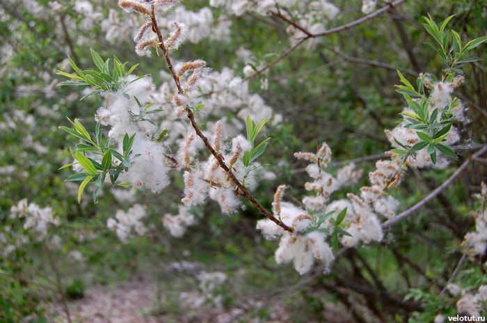 белое растение