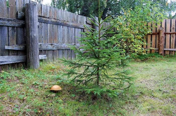 елочка в огороде