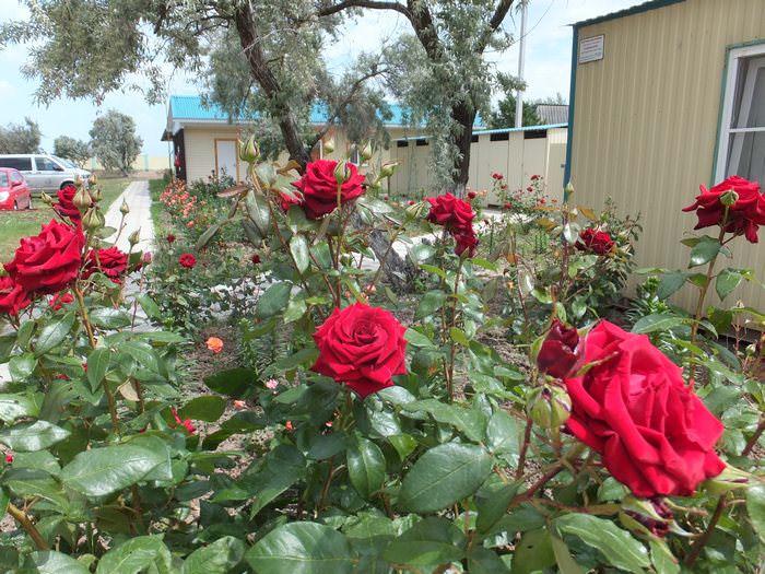 розы на турбазе дельта