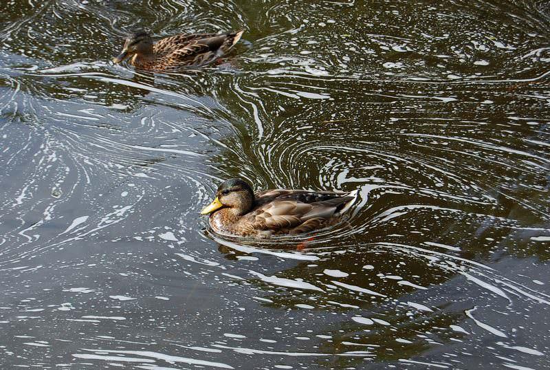 утки в канале