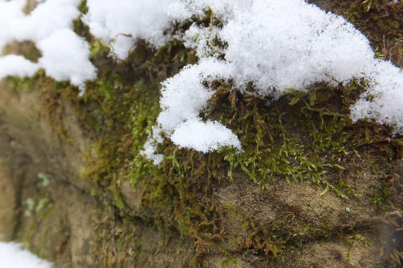 мох под снегом