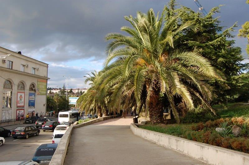 пальма сочи