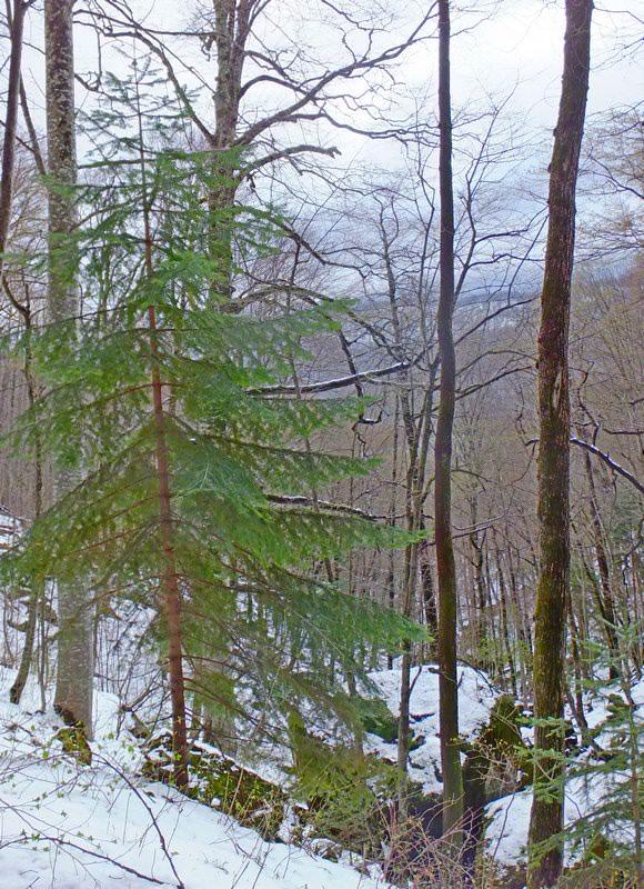 елочка в лесу