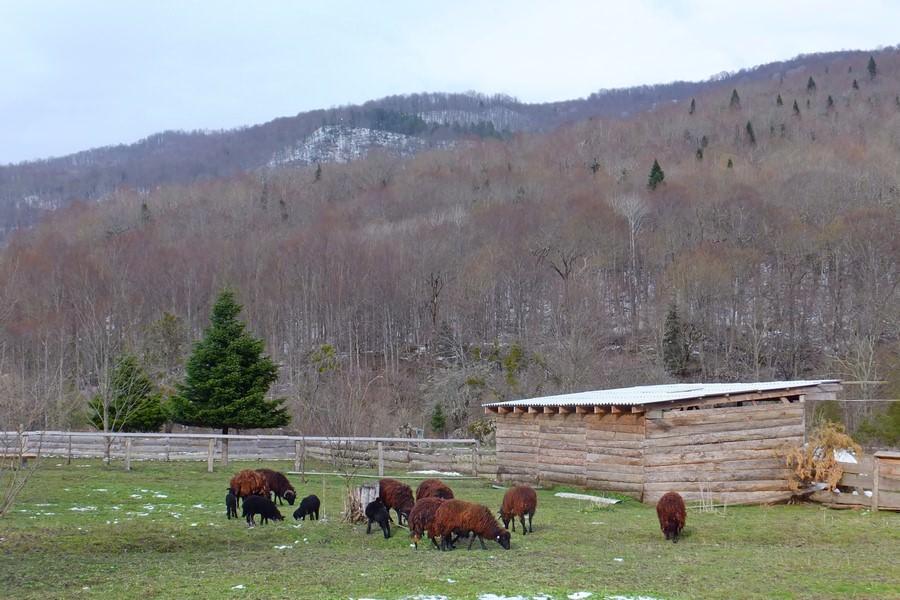 овечки в горах
