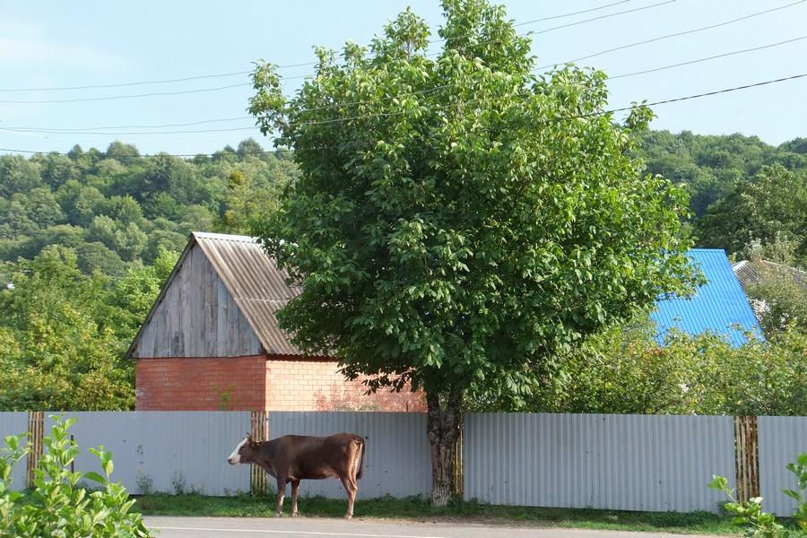 корова в ауле