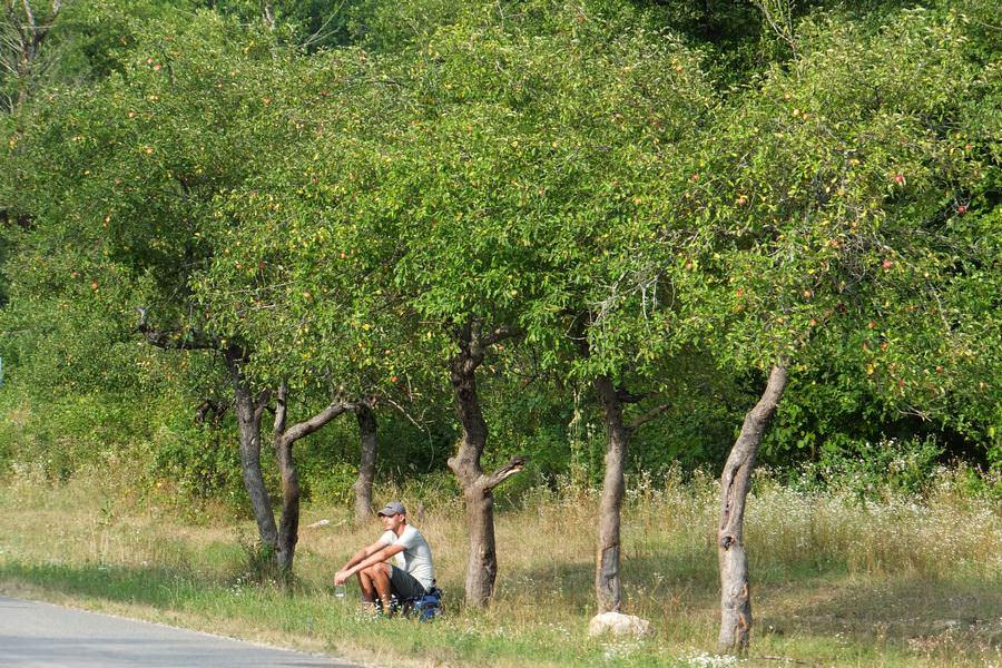 яблони вдоль дороги